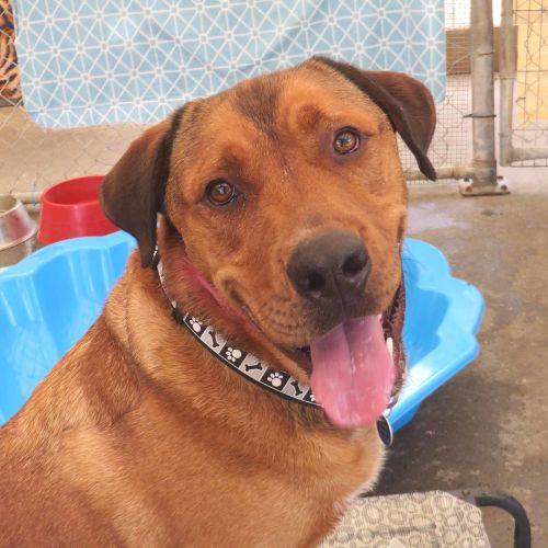 Atticus - Labrador x Mastiff Dog