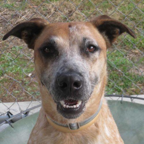 Dakota - Australian Cattle Dog