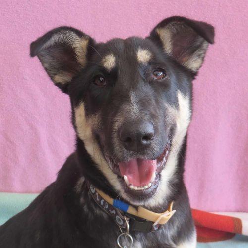 Missy - German Shepherd Dog