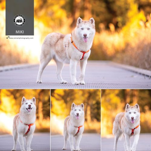 Miki - Siberian Husky Dog