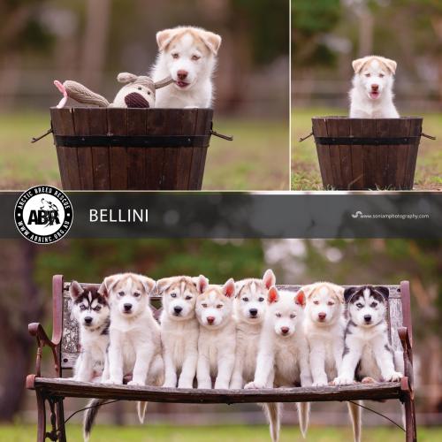 Bellini - Siberian Husky Dog
