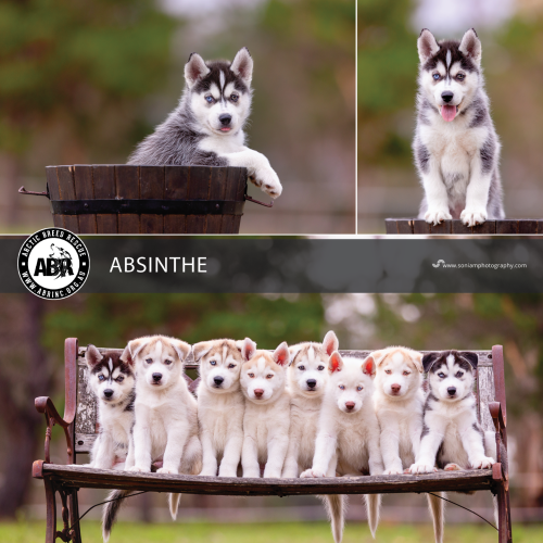 Absinthe - Siberian Husky Dog