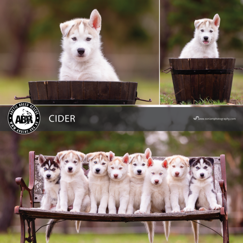 Cider - Siberian Husky Dog