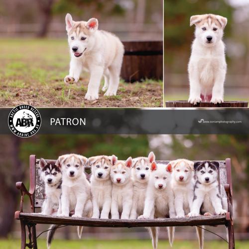 Patron - Siberian Husky Dog