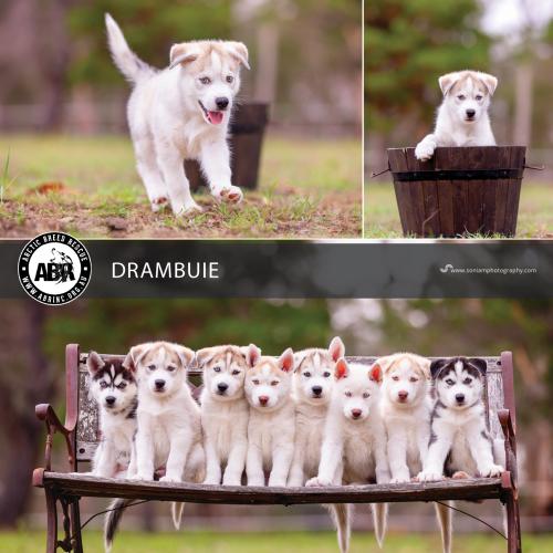 Drambuie - Siberian Husky Dog