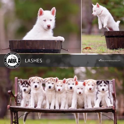 Lashes - Siberian Husky Dog