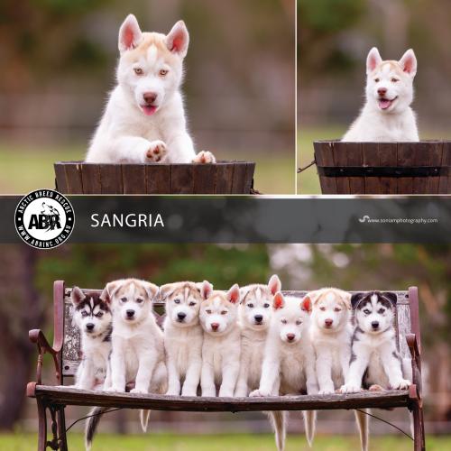 Sangria - Siberian Husky Dog