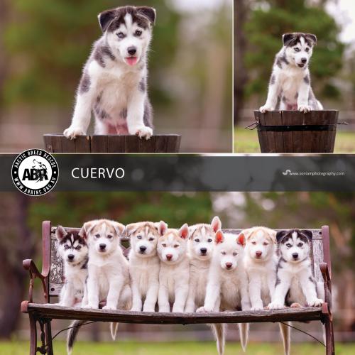 Cuervo - Siberian Husky Dog