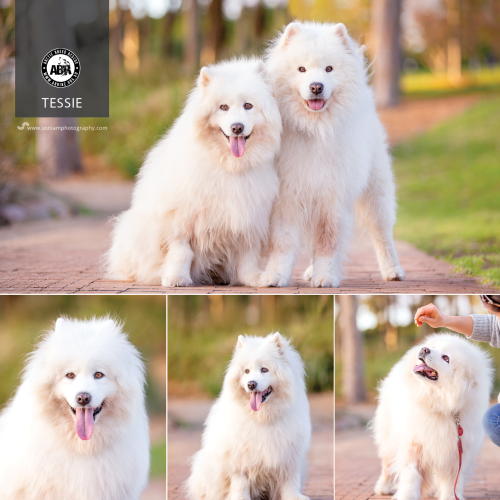 Tessie - Samoyed Dog