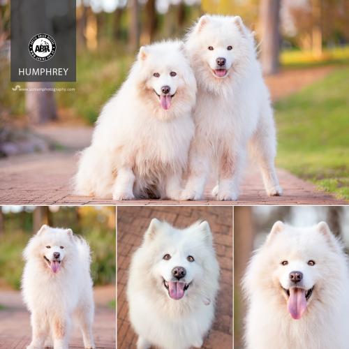 Humphrey - Samoyed Dog
