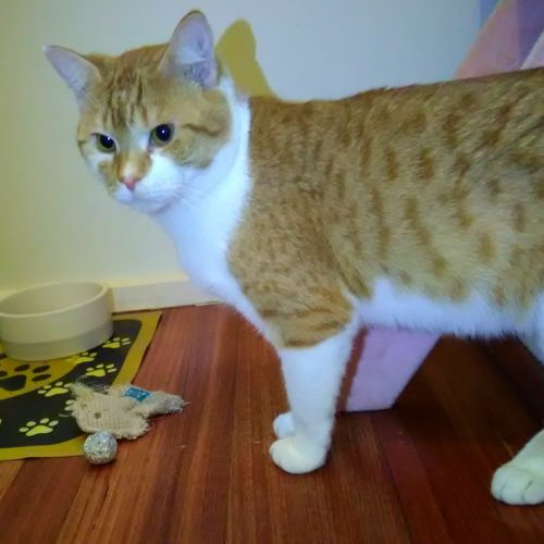 Bobby **2nd Chance Cat Rescue** - Domestic Short Hair Cat