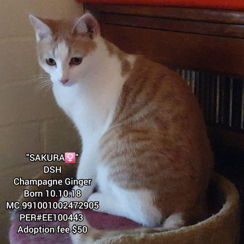 Sakura - Domestic Short Hair Cat