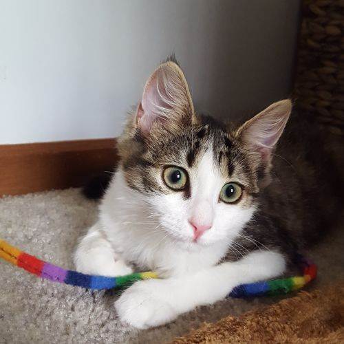 Lolly ^^Dandy Cat Rescue^^ - Domestic Medium Hair Cat