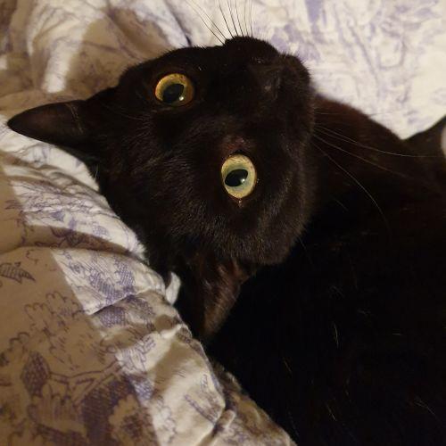 Jiny - Domestic Short Hair Cat