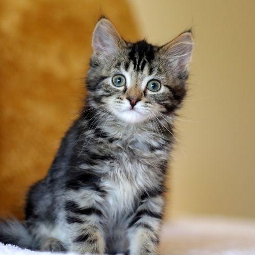 Pop  - Domestic Medium Hair Cat