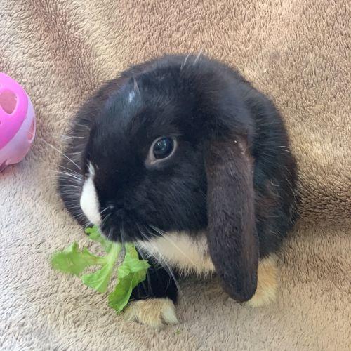 Elsa - Lop Eared Rabbit
