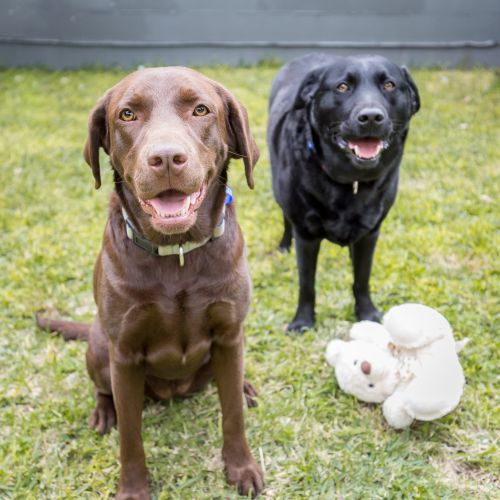 Jack and Lilly ~ bonded pair of Labrador - Labrador Dog