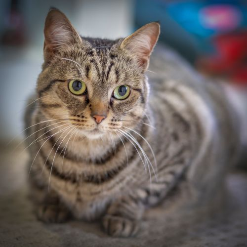 Alexia - Domestic Short Hair Cat