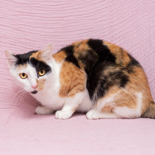 Missy **2nd Chance Cat Rescue** - Domestic Short Hair Cat