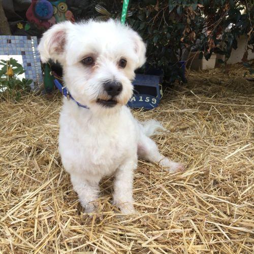 Dexter - Maltese Dog