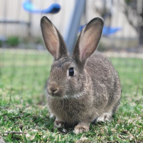 Payton - Domestic Rabbit
