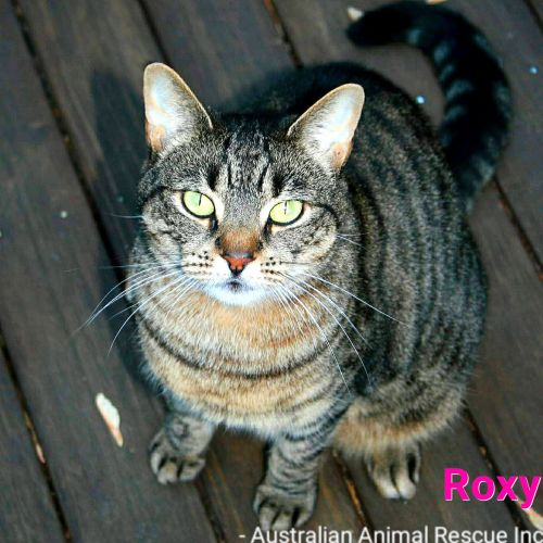 Roxy - Domestic Short Hair Cat