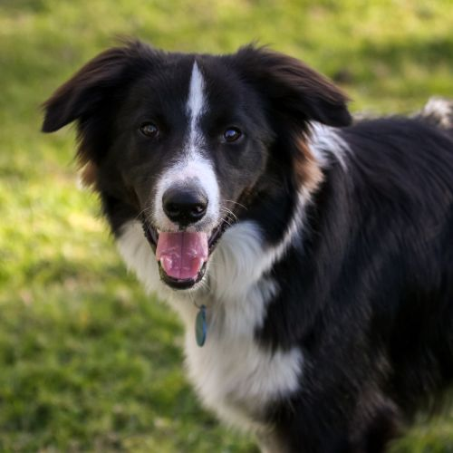 Mango - Border Collie Dog