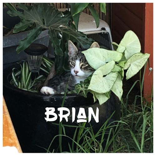 Brian - Domestic Short Hair Cat