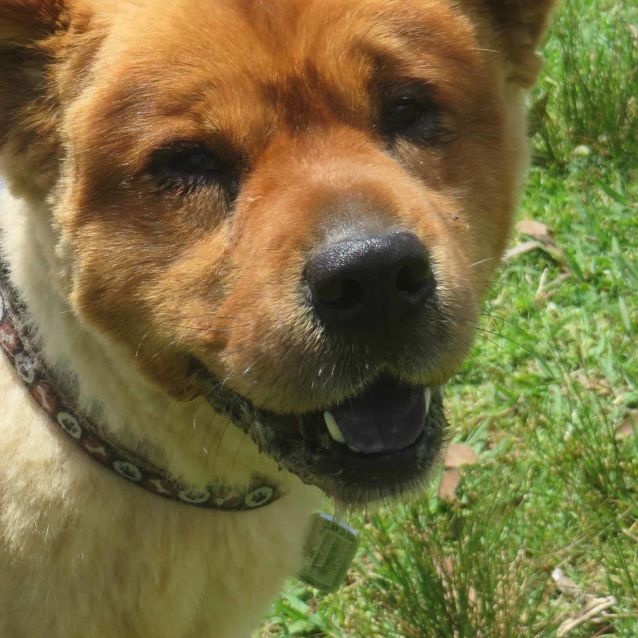 Rocky - Medium Male Chow Chow Mix Dog in NSW - PetRescue