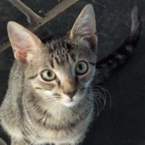 Matt - Domestic Short Hair Cat