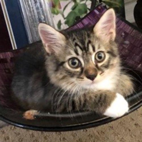 Maclary - Domestic Short Hair Cat