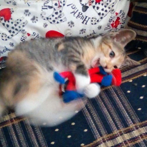 Nala - Domestic Short Hair Cat