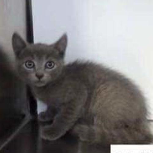 Cyrus - Domestic Short Hair Cat