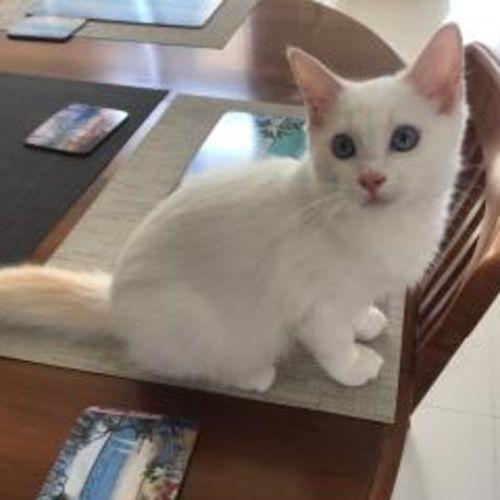 Alfie - Ragdoll Cat