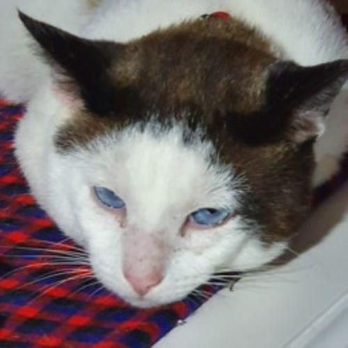 Star - Domestic Short Hair Cat