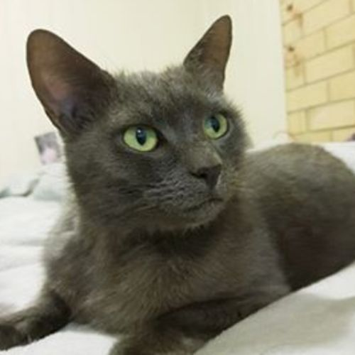 Zara - Domestic Short Hair Cat