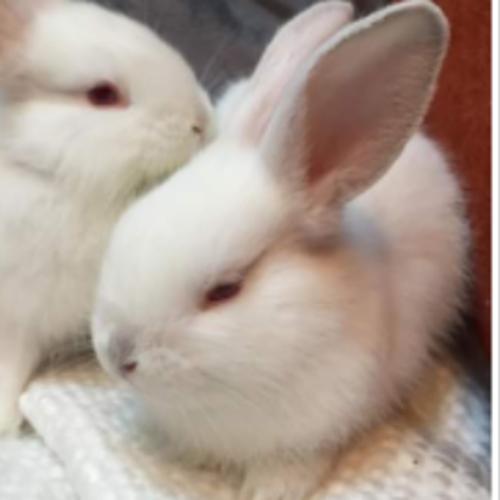 Rodger - Himalayan Dwarf Rabbit