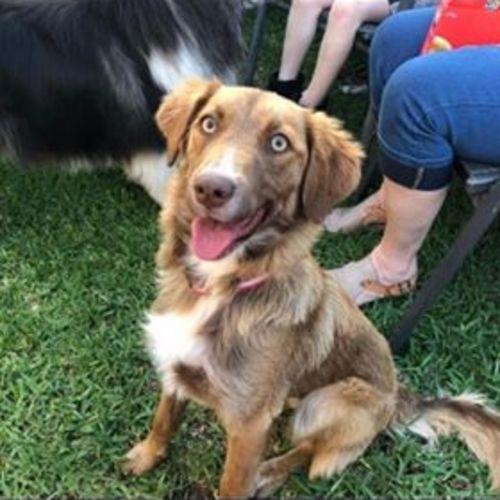 Peppa - Australian Shepherd Dog