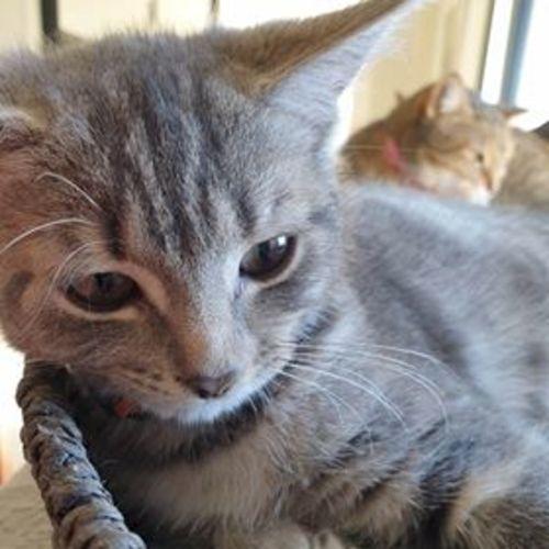 Crysta - Domestic Short Hair Cat