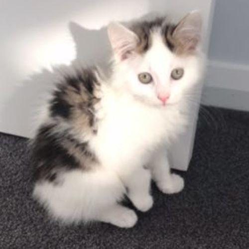 Bunny - Domestic Medium Hair Cat