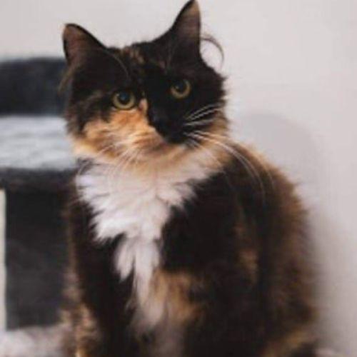 Dutchess - Domestic Medium Hair Cat