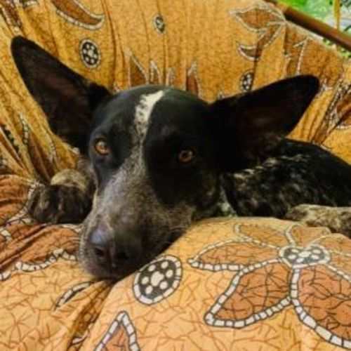 Missy - Mixed Breed Dog