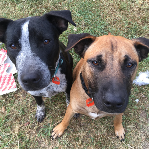 Sargent & Bobo - Staffordshire Bull Terrier Dog