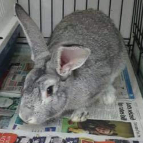 Maverick - Flemish Giant Rabbit