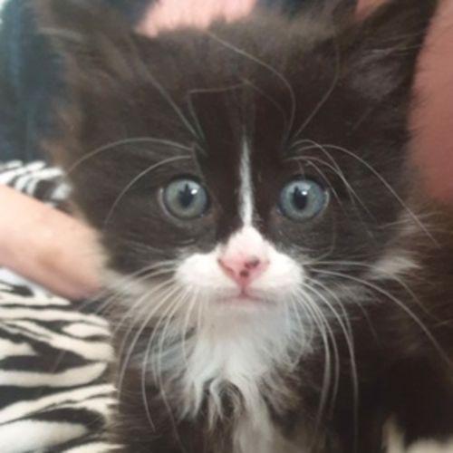 Bandit - Located in Westmeadows - Domestic Medium Hair Cat
