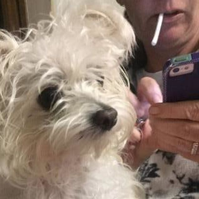 Ruby - Small Female Maltese Mix Dog in QLD - PetRescue