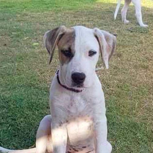 Rice ~ Adoption Pending ~ - Irish Wolfhound Dog