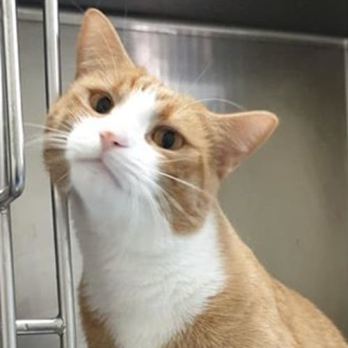 Whiskey Boi - Domestic Short Hair Cat