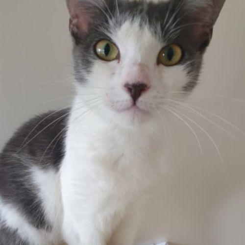 Anna - Domestic Short Hair Cat