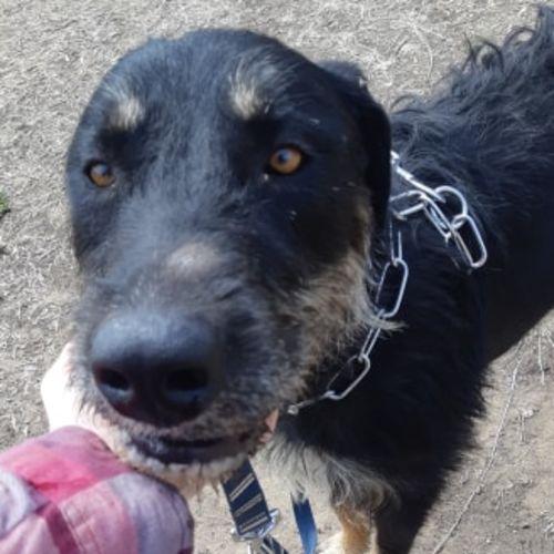 Bosco - Wolfhound Dog
